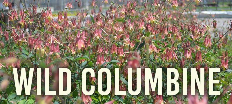 wild columbine